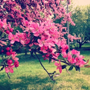 This was Saturday, Crabapple Tree blooming!